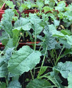 Udplantningsplanter Øko