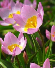 Forårsløg i Pink , Rosa & Lyserødt