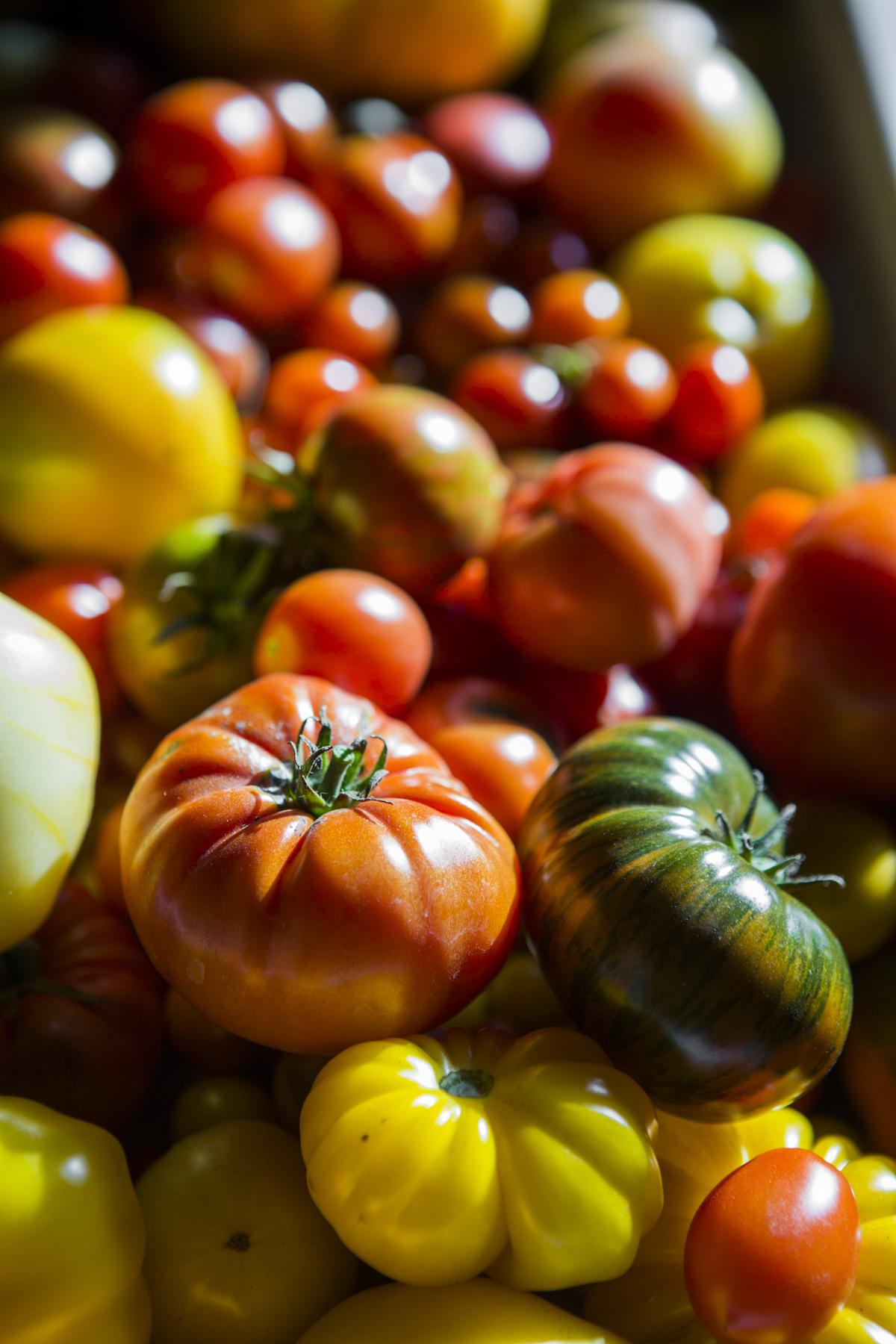 Nye Tomatsorter 2018