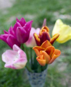 Tidlige og mellemtidlige Tulipaner