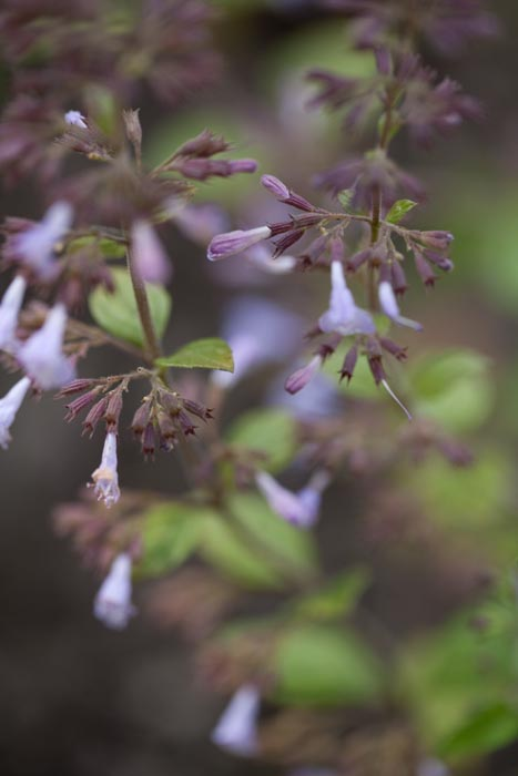 Andre Læbeblomstrende Krydderurter Planter Øko