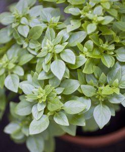 Basilikum Planter Øko