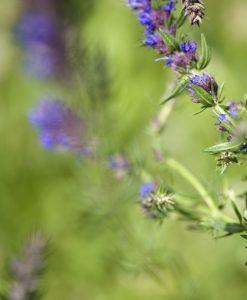 Timian - Oregano - Isop - Planter Øko