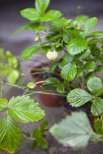 Bær Planter Øko