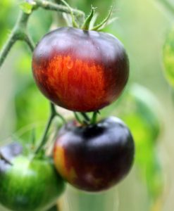 Øko Tomatplanter