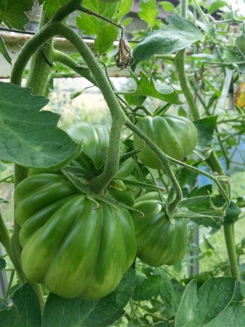 'Grønne tomater'