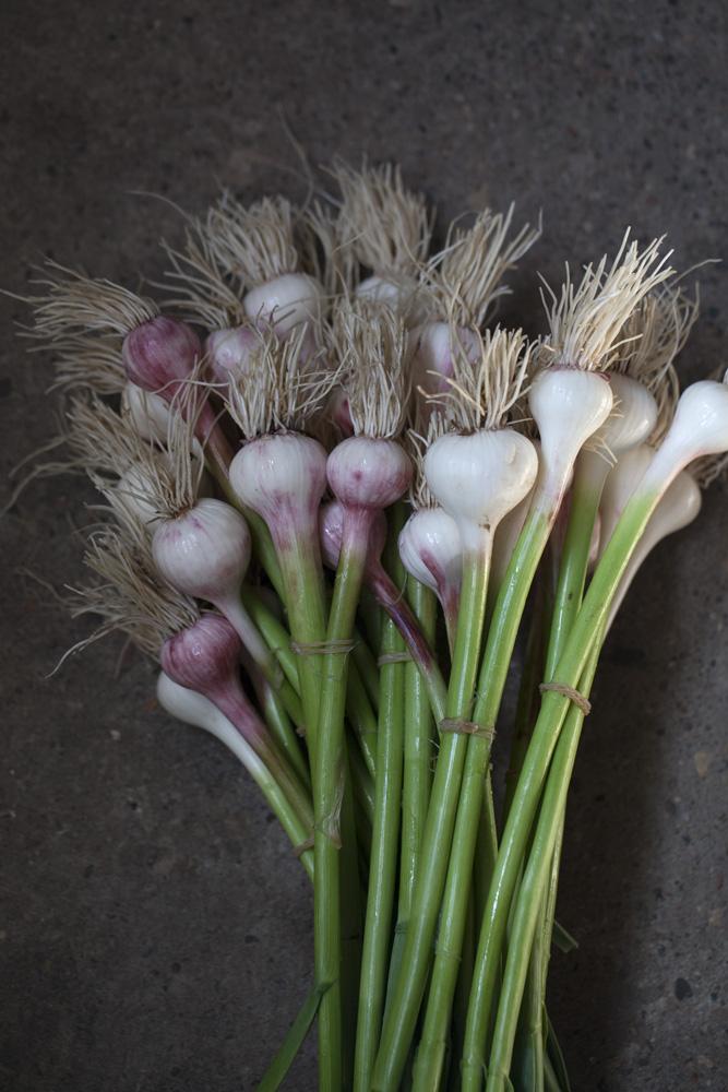 Allium - Hvidløg - spiselige løg