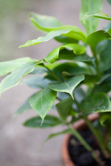 Krydderurter planter