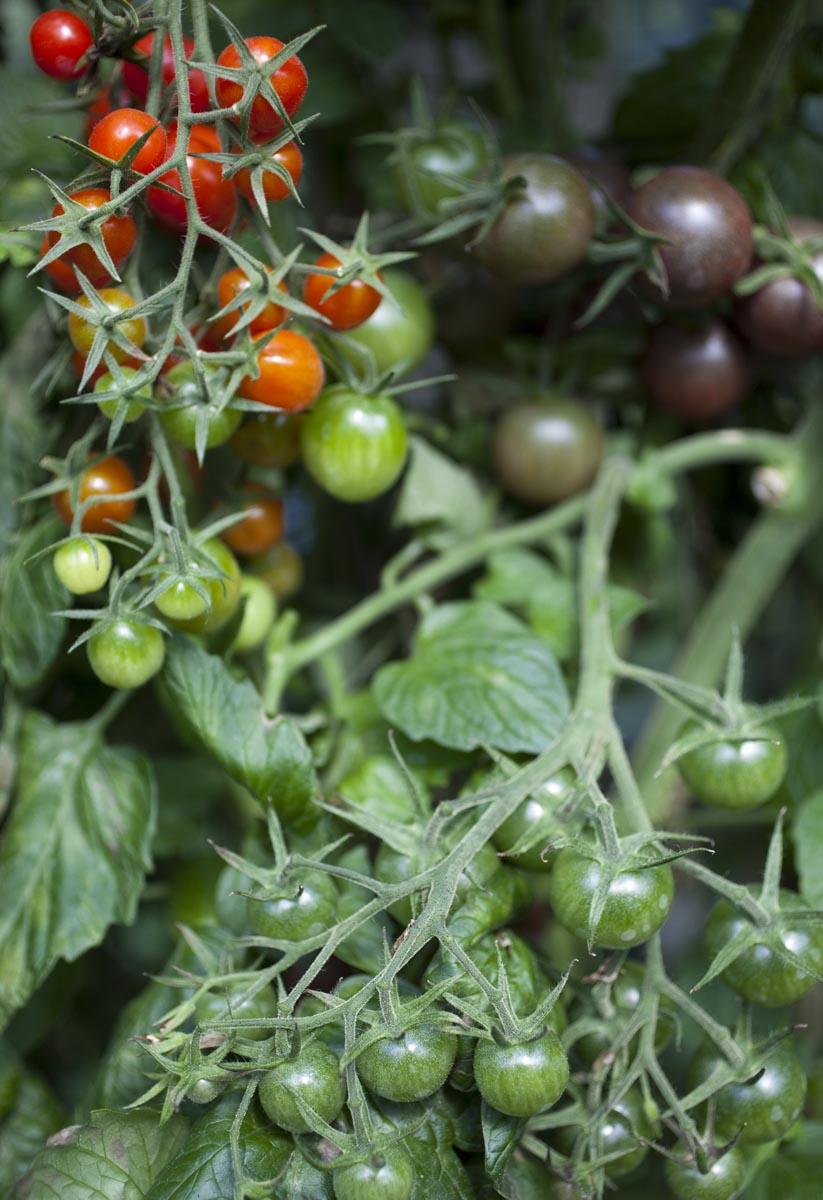 Cherry og Blomme tomater