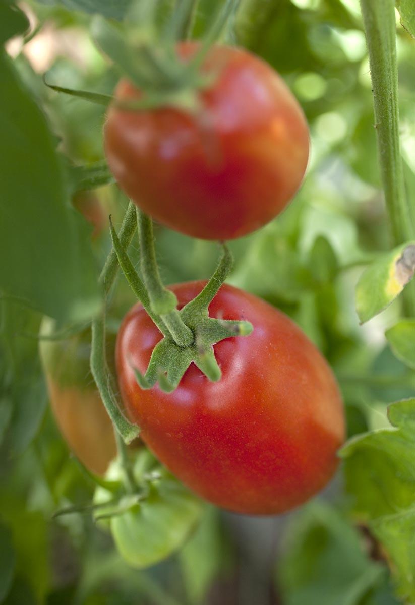 Sugo Tomater