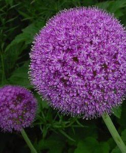 Allium - Løgplanter
