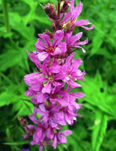 Biplanter, mad til bierne i din have.