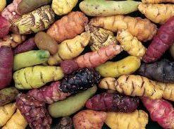 Spiselige Løg, Knolde , Rødder og Rhizomer
