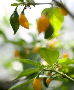 Chili Planter Øko