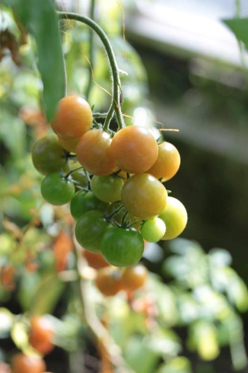 Vinter Tomater - Langtidsholdbare Gamle Sorter Tomater